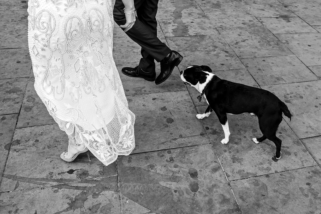 boston terrier wedding